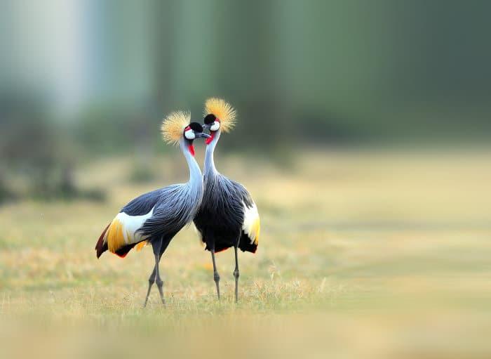 Breeding pair of grey crowned cranes