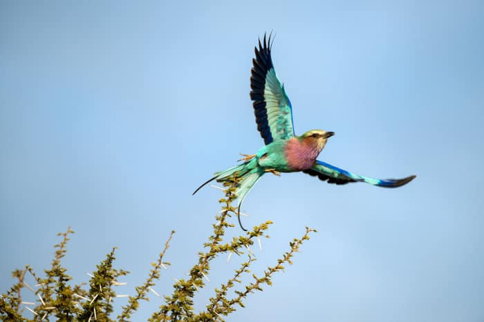 Lilac-breasted roller taking off, Madikwe, South Africa