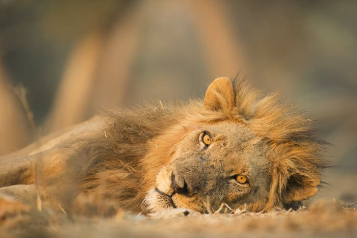 Male lion portrait in resting mode, Mana Pools