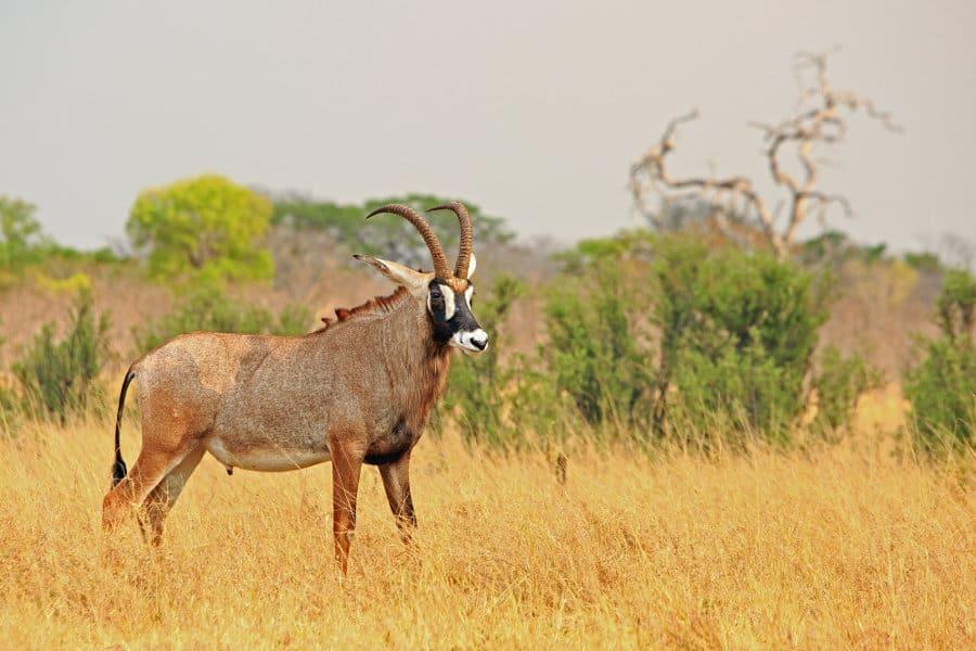 Roan antelope fun facts: Africa's fearless savanna survivor