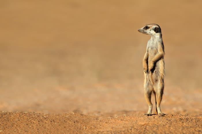 Meerkat on sentry duty, standing on guard for potential predators