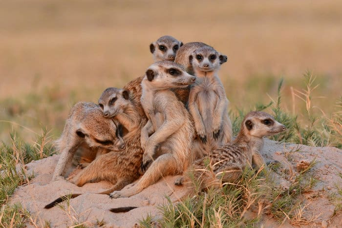 Meerkat family, photographed in the Makgadikgadi Pans
