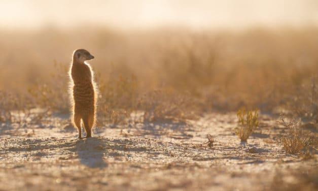 Meerkat facts: Africa's social suricate