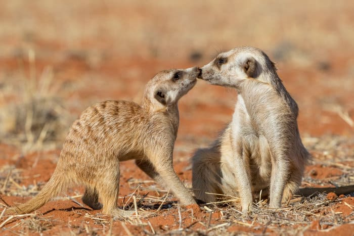 "Meerkats ""nose to nose"" in the Kalahari desert, Namibia"