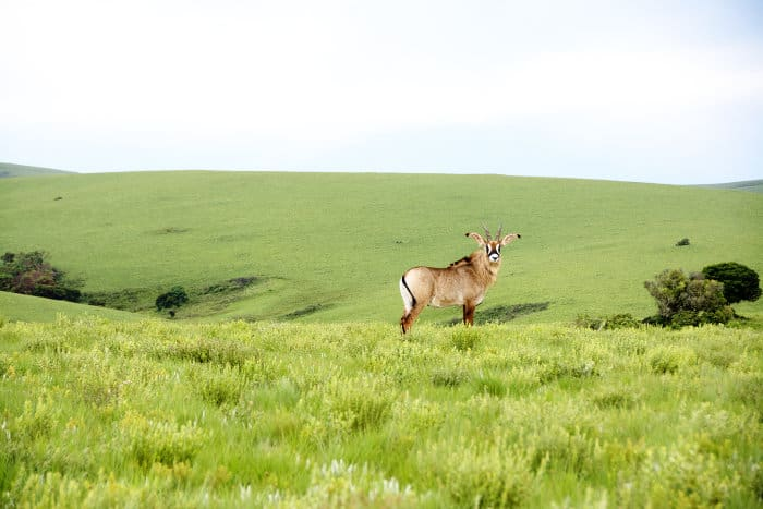 Rare roan antelope on the Nyika Plateau, Malawi