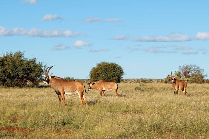Herd of roan antelope in its natural habitat, South Africa