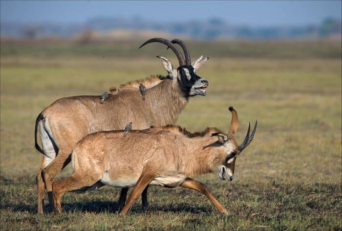Roan antelope courtship