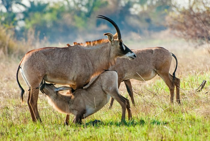 Young roan antelope feeding from his mother