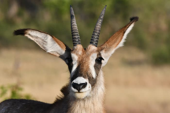 Subadult roan antelope close up portrait, featuring its ringed horns