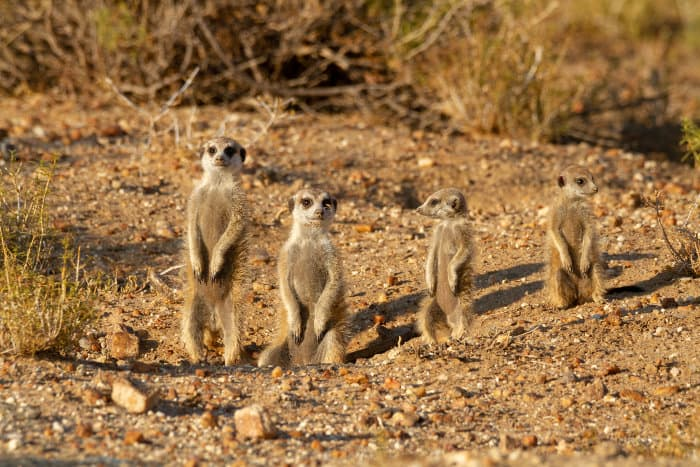 Family of suricates at the entrance of their burrow