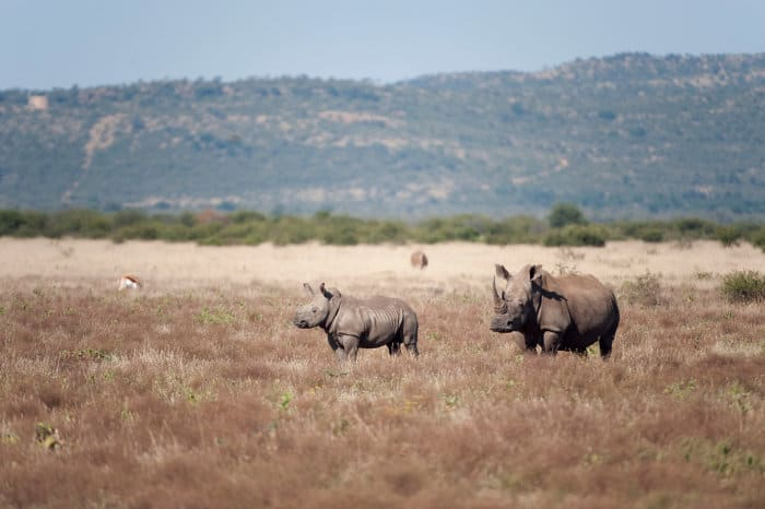 White rhino cow and her baby in Madikwe, South Africa