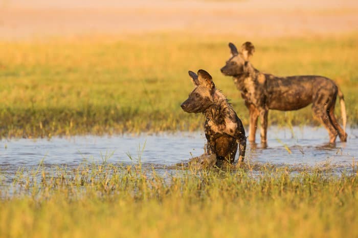 Two African wild dogs cooling off in the river, Mana Pools