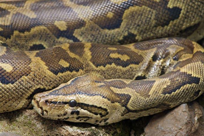 African rock python portrait in Kenya, East Africa