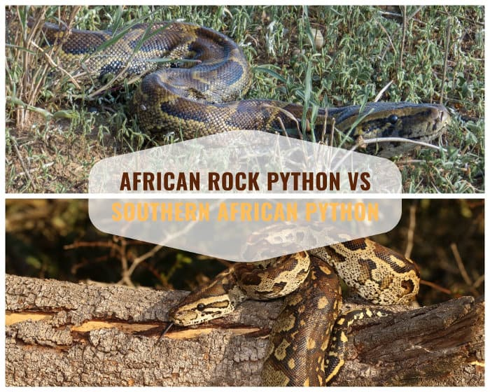 African rock python vs Southern African python