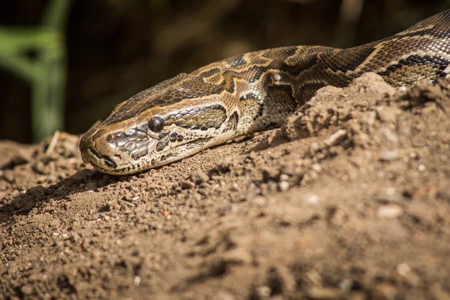 African rock python – Facts about the largest snake in Africa