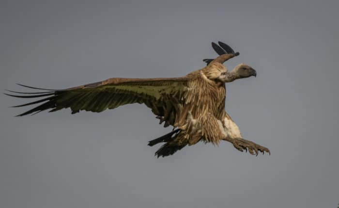 African white-backed vulture with both feet stretched out, ready to land
