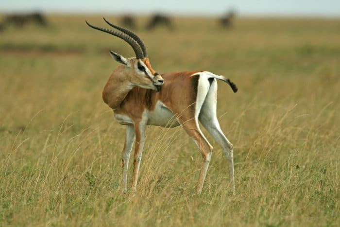 Grant's gazelle is unique because the white coloring extends above and around the tail