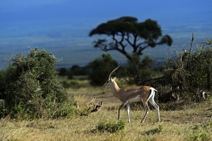 Grant's gazelle in its natural habitat