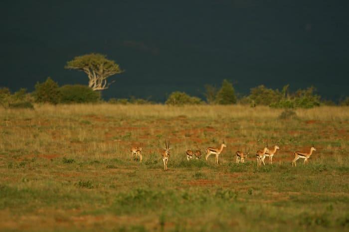 Herd of Grant's gazelle in Laikipia, Kenya