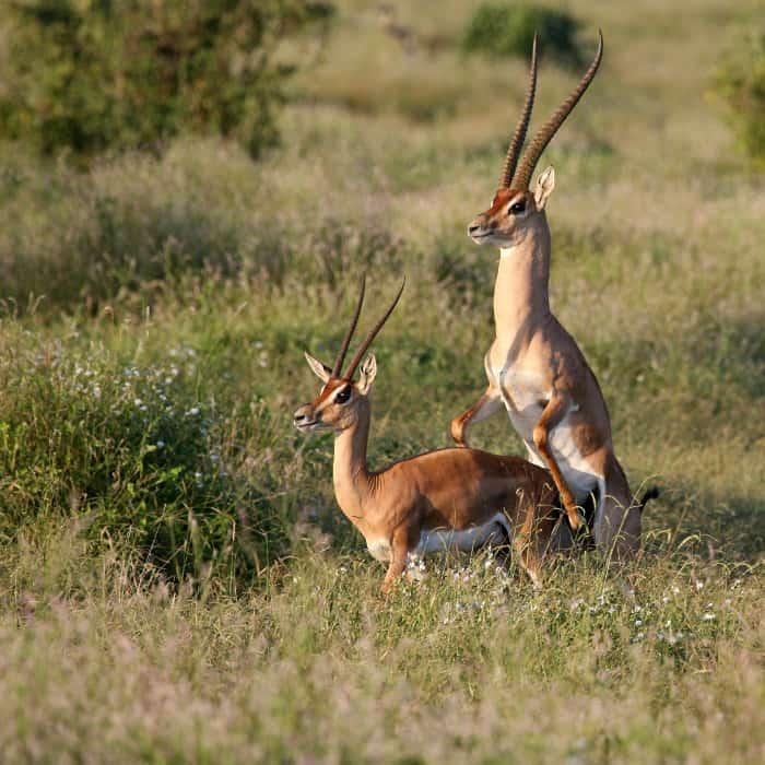 Grant's gazelle mating in Tsavo East, Kenya