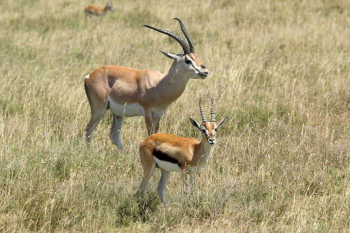 Grant's gazelle vs Thomson's gazelle in the Serengeti National Park, Tanzania