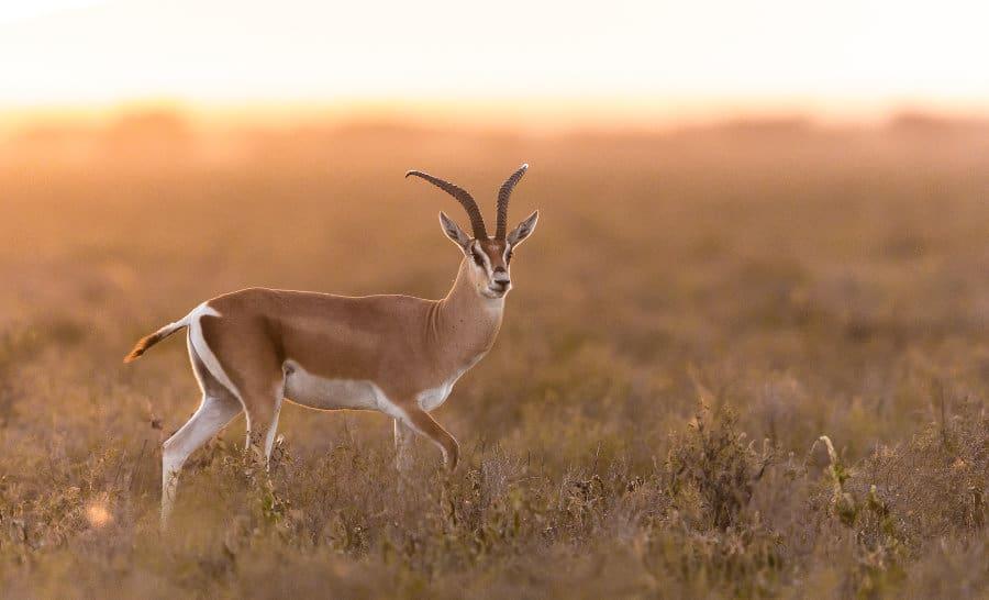 Grant's gazelle: habitat, diet & unexpected resourcefulness