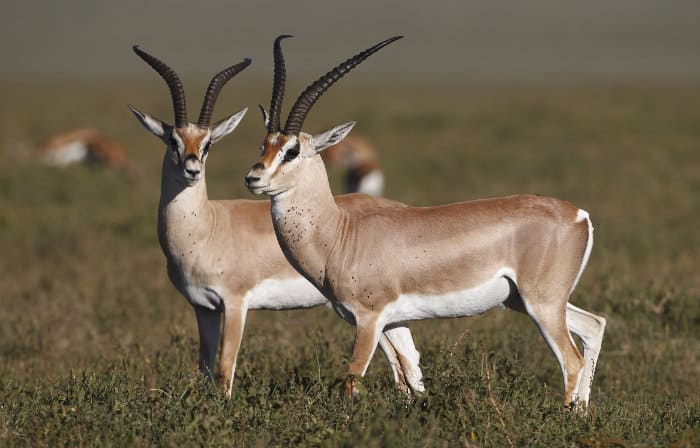 Grant's gazelle have white bellies, and are often outlined with a darker stripe on their flank
