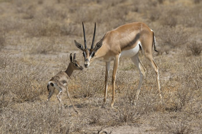 Mother Grant's gazelle and her newborn baby, who can barely stand on its legs