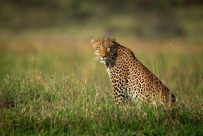 Big male leopard in the Serengeti, Tanzania