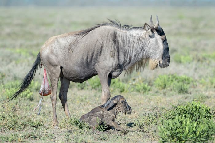 Blue wildebeest and her newly born calf, Ngorongoro Conservation Area, Tanzania
