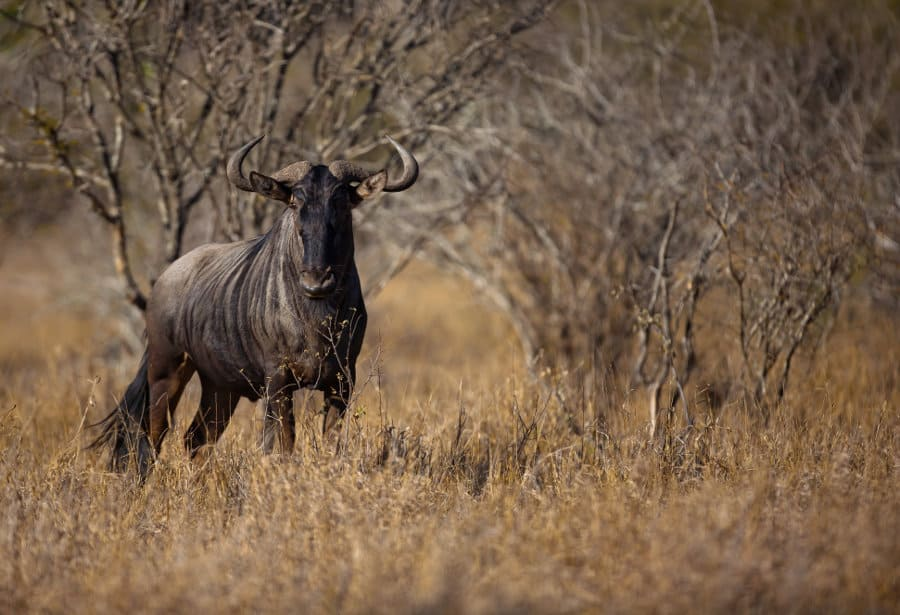 Blue wildebeest – The great migrating beast of Africa