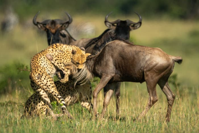 Two cheetah brothers hold a blue wildebeest by the neck