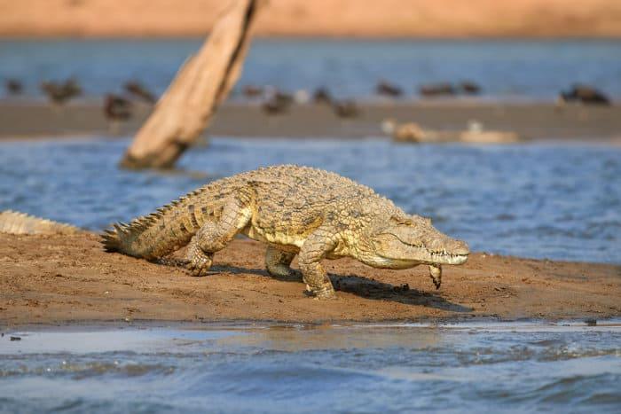 Big Nile crocodile running into the water, Lake Kariba, Zambia