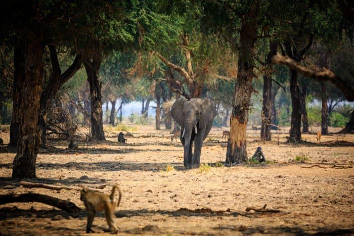 Lone elephant and baboons in the Lower Zambezi National Park, Zambia