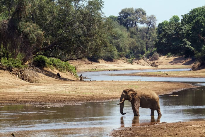 Lone bull elephant in Kruger National Park, South Africa