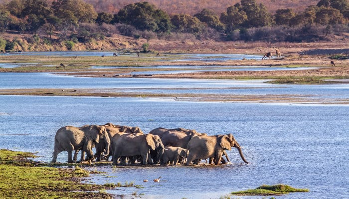 Herd of elephants crossing the river, with various antelope and giraffes in the background