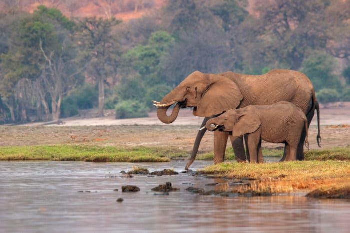 Elephants drinking along the Chobe river bank