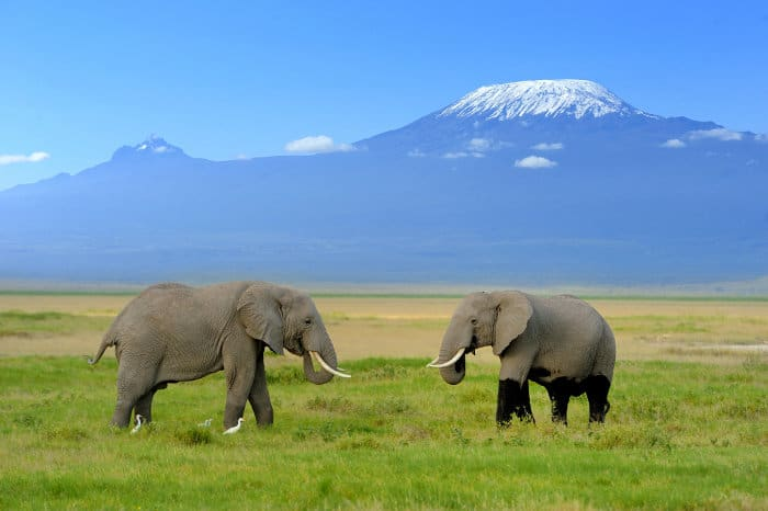 Two African elephants in Amboseli, with Mount Kilimanjaro as a backdrop