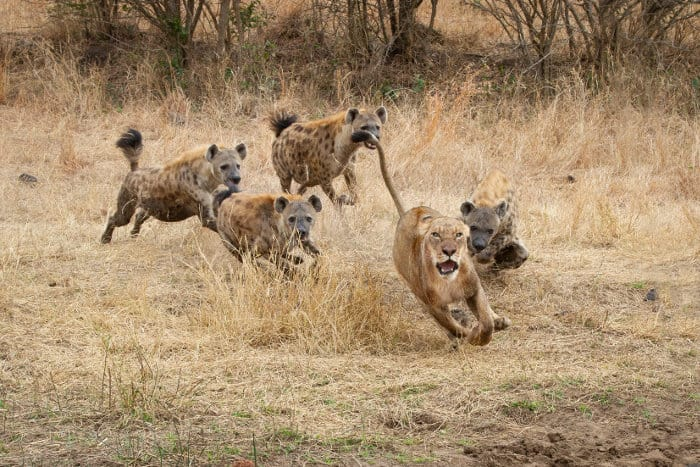 A lioness runs for her life, chased away by four angry spotted hyena