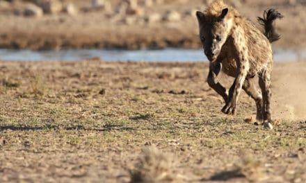 How fast can a hyena run?