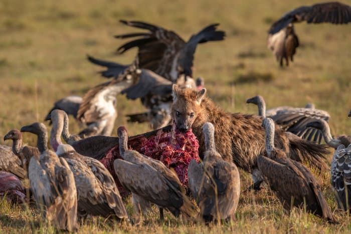 Spotted hyena and white-backed vultures battle it out over chunks of red meat
