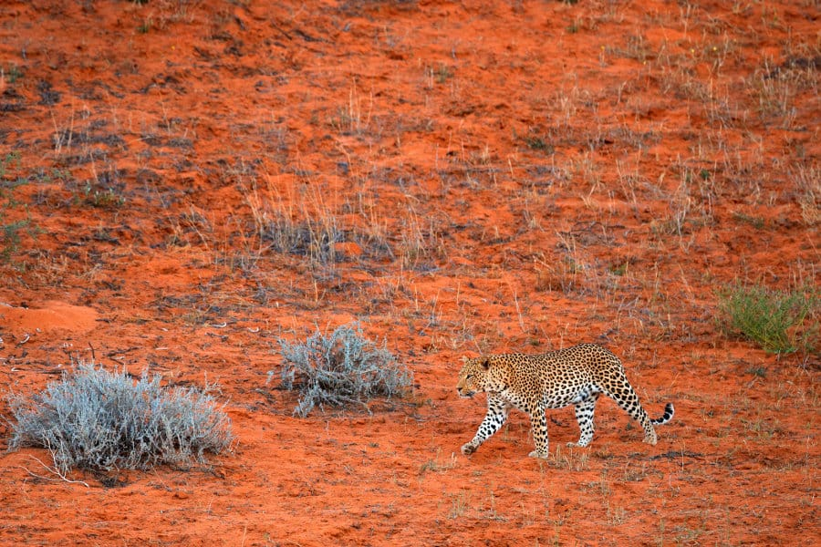Where do leopards live? In the wild, of course – right?