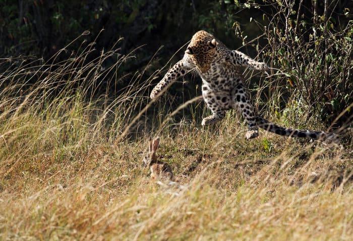 Leopard hunting a hare in the Masai Mara