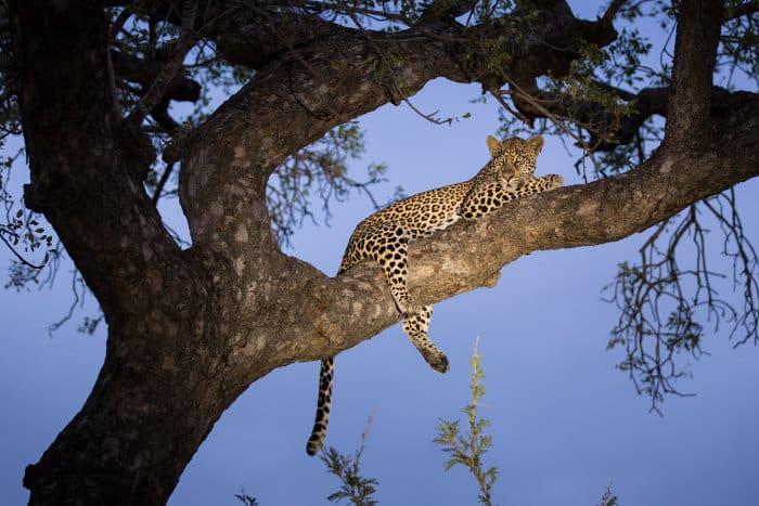 African leopard in a tree, Kruger National Park
