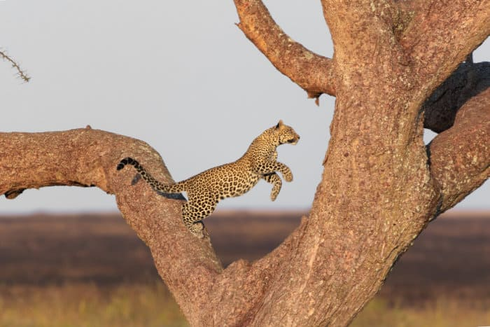 Leopard jumping from one branch to another on a tree