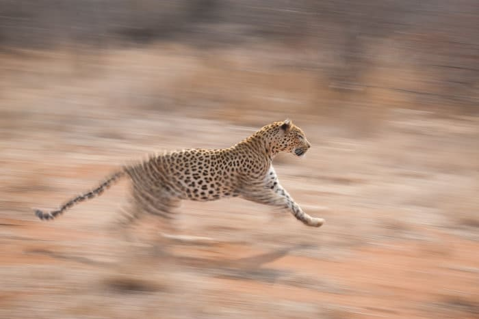 African leopard in running motion, with soft blurred background