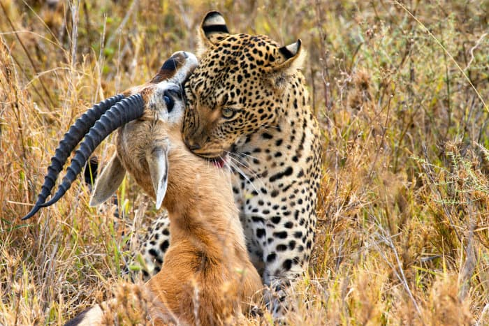 Leopard with freshly caught Thomson's gazelle