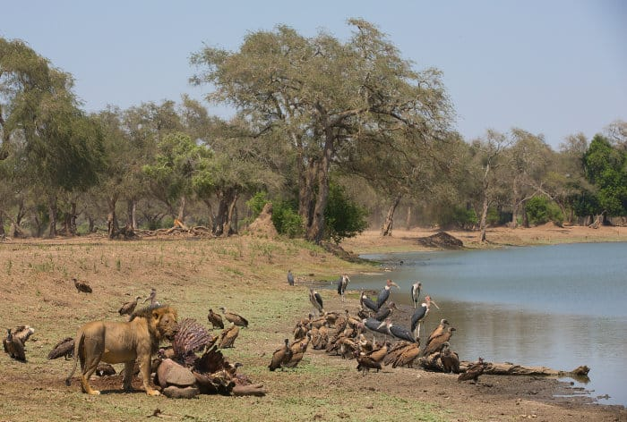 Lion, vultures and marabou storks around a hippo carcass