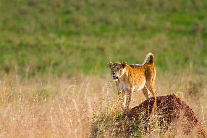 Lioness on termite mound, Kidepo Valley, Uganda