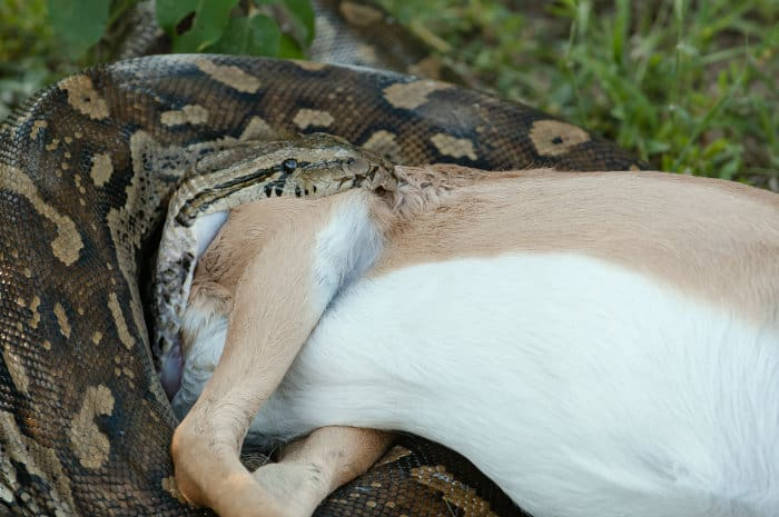 Close up picture of a rock python swallowing an impala